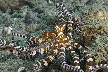 Wunderpus Octopus