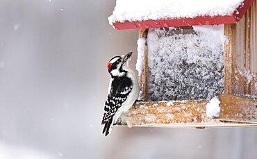 Downy Woodpecker at Feeder