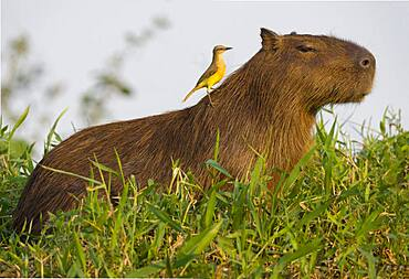 A Cattle tyrant perches on a Capybara