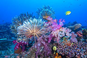 Crinoids and soft coral