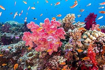Soft coral scene, Fiji Islands
