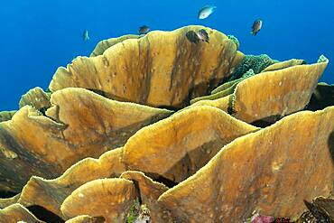 Cabbage Coral, Fiji