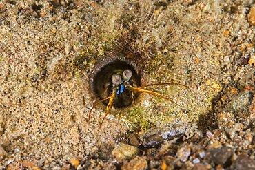 Keel Tail Mantis Shrimp