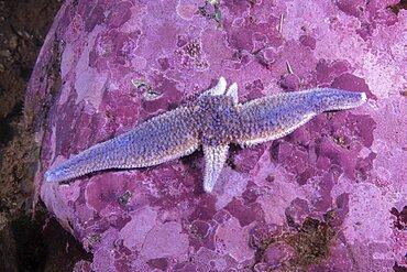 Northern Seastar, (Asterias rubens); regenerating three arms