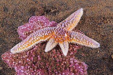 Northern Seastar, Asterias rubens; regenerating 2 arms