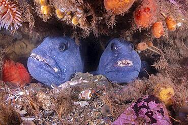 Atlantic Wolffish pair