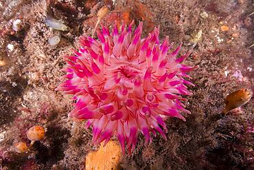 Northern Red Anemone