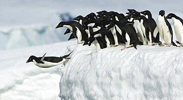 Adelie penguin leaping into ocean