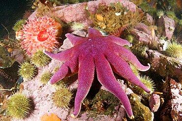 Starfish and Anemone