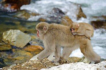 Female Snow Monkey with Baby