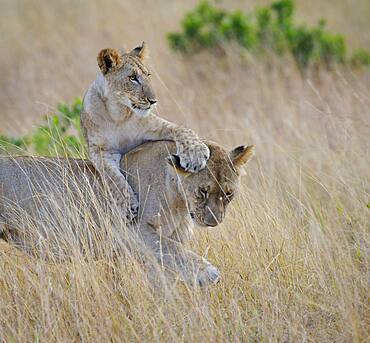 Lion Cub Playing with Female Lion