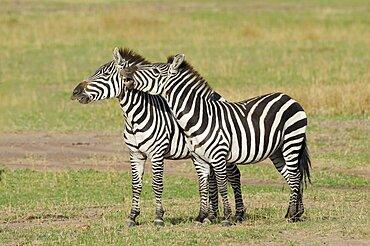 Zebra Males Fighting