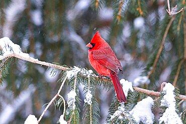 Northern Cardinal male
