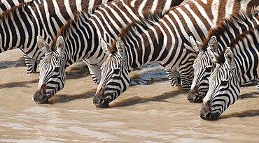 Common Zebras Drinking Water