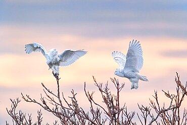 Snowy Owls at Sunrise