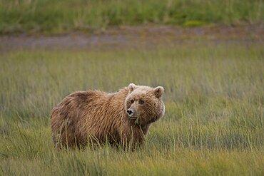 Brown Bear in Sedge Meadow