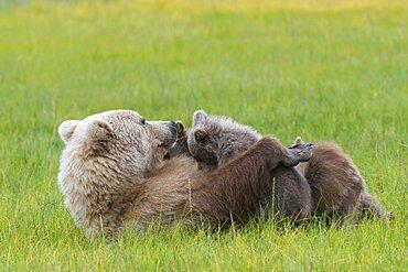 Brown Bear Nursing Cubs