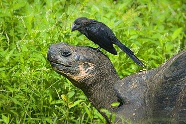 Smooth-Billed Ani & Giant Tortoise