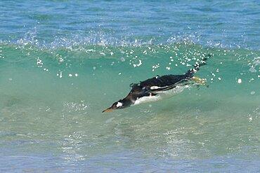 Gentoo Penguin Ashore from Ocean Surf