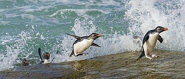Rockhopper Penguin leaping from Ocean