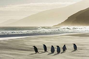Gentoo Penguins on Beach in Wind Storm
