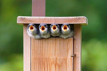 Tree Swallow young (Tachycineta bicolor)