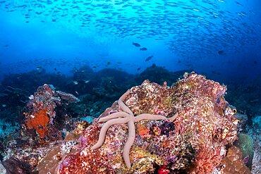 Blue Sea Star, Indonesia
