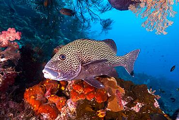 Many-spotted Sweetlips