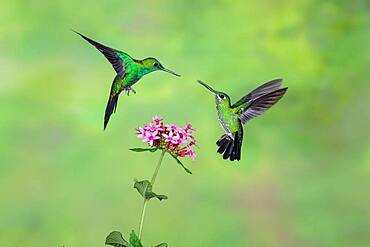 Green-crowned brilliant feeding on flowers