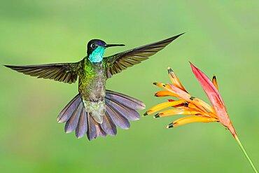 Magnificent Hummingbird; Eugenes fulgens