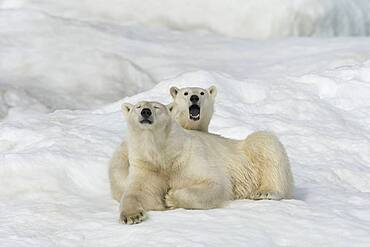 Polar Bear with Large Cub