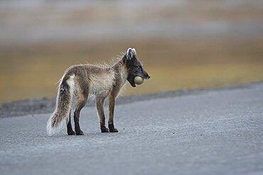 Arctic Fox with Common Eider Egg