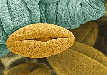 Pollen Grain, SEM