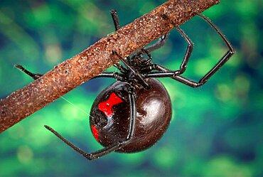 Latrodectus mactans, Black Widow Spider