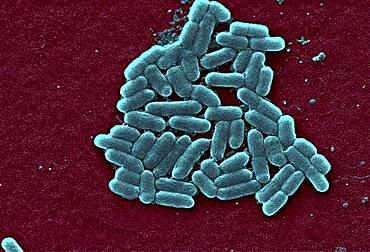 Escherichia coli O157:H7 Bacteria, SEM
