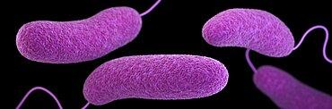 Vibrio parahaemolyticus Bacteria, 3D Model