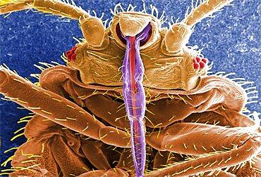 Cimex lectularius, Bed Bug, SEM