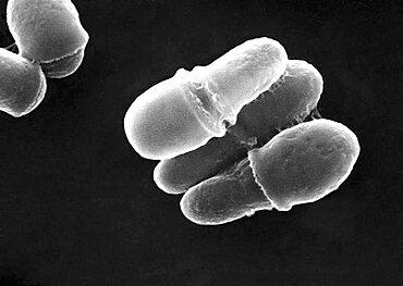Malassezia Fungus, SEM