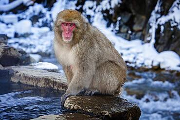 Monkey in a natural onsen (hot spring), located in Jigokudani Monkey Park, Nagono prefecture,Japan.