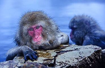 Monkeys in a natural onsen (hot spring), located in Jigokudani Monkey Park, Nagono prefecture,Japan.