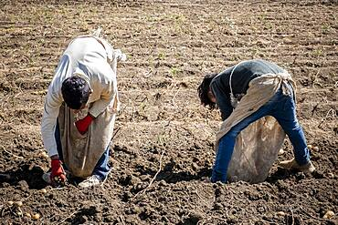 Children picking the potato harvest, day laborers, child labour, syrian refugees, in Bar Elias, Bekaa Valley, Lebanon