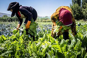 Sahar at right and Houriye at left, both 15 years old, Girls picking chards harvest, day laborers, child labour, syrian refugees, in Bar Elias, Bekaa Valley, Lebanon