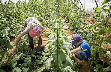 At right Khaled 13 years old. At left his brother Ibrahim 15 years old, picking cucumbers harvest, day laborers, child labour, syrian refugees, Arsal, Bekaa Valley, Lebanon
