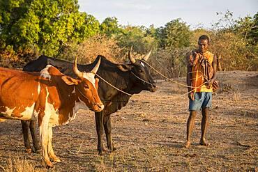 Portrait of Malagasy and Zebu cattle, surroundings of Manja village, Madagascar