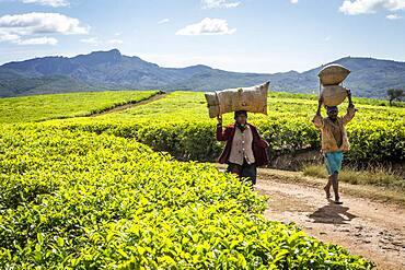 Tea harvest in Sahambavy, near Fianarantsoa city, Madagascar