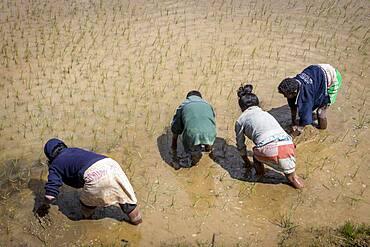 Kids planting rice, on the outskirts of Fianarantsoa, Madagascar