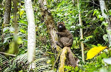 Lemur (Prolemur simus), in Ranomafana National Park. Madagascar, Africa