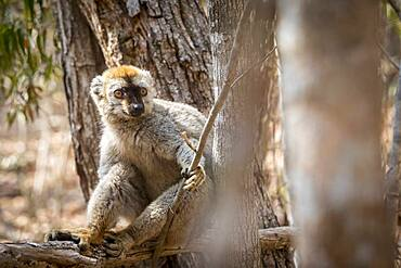 Red-fronted Brown Lemur in Isalo National Park, Madagascar.