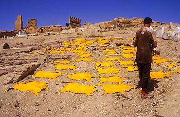 Dyed yellow goat skins drying on the hill El Kolla, Fez, Morocco.
