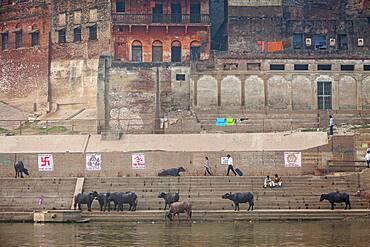 Buffaloes, Lalita ghat, in Ganges river, Varanasi, Uttar Pradesh, India.